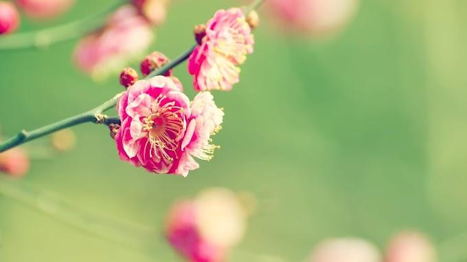 Papel de Parede Flor Rosa Plum blossom