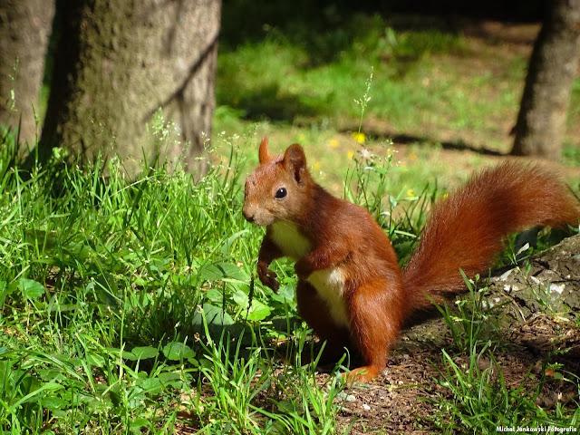 Wiewiórka w Parku Skaryszewskim lato 2016