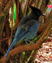 Young Stellar's Jay