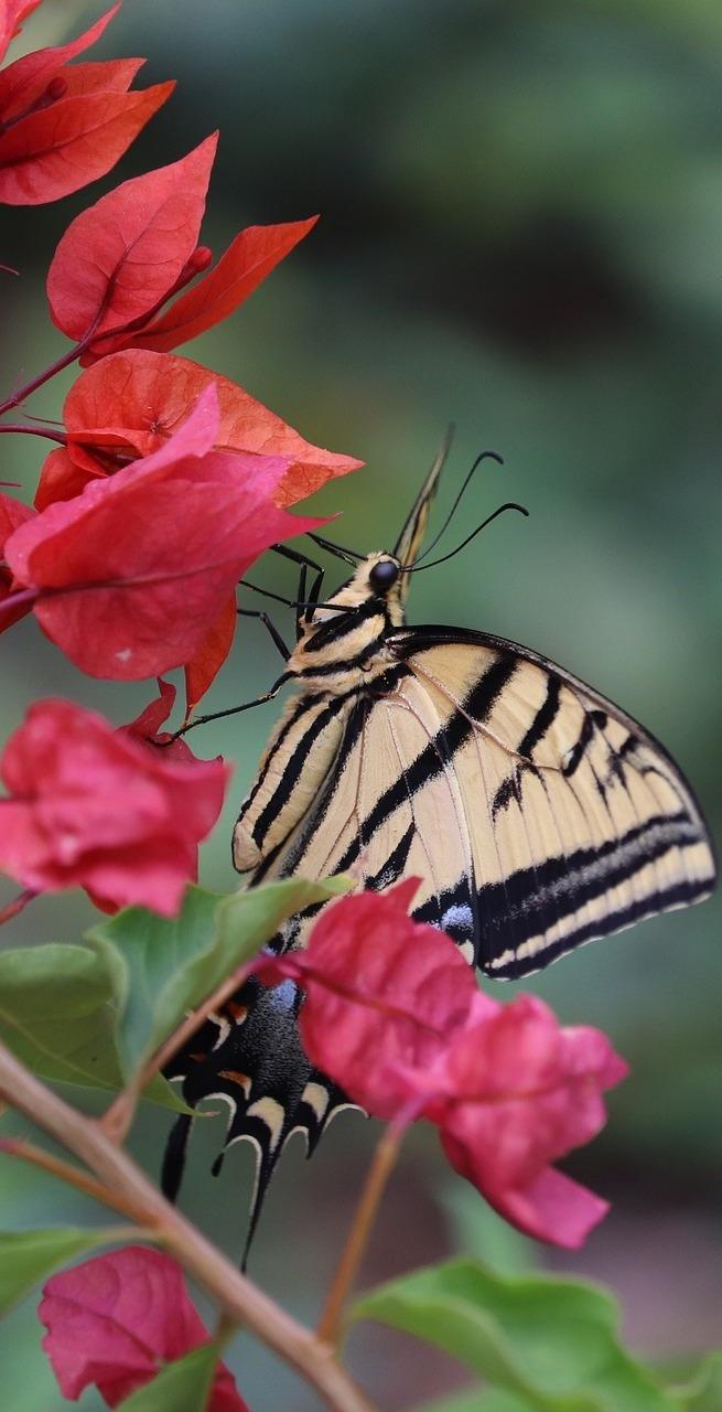 Swallowtail butterfly on a bougainvillea flower.