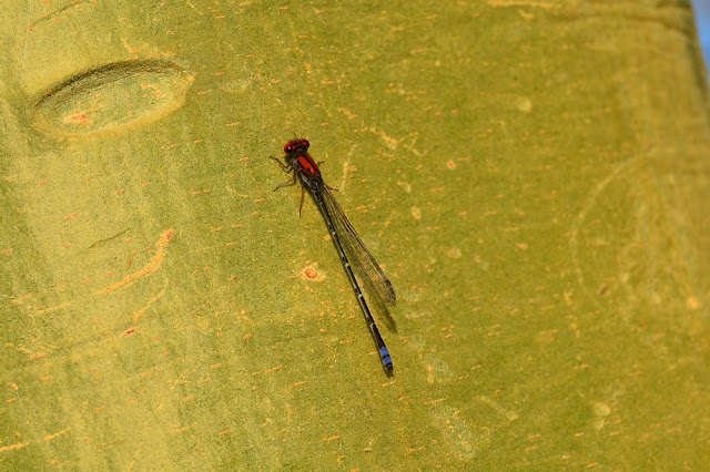 Pseudagrion massaicum