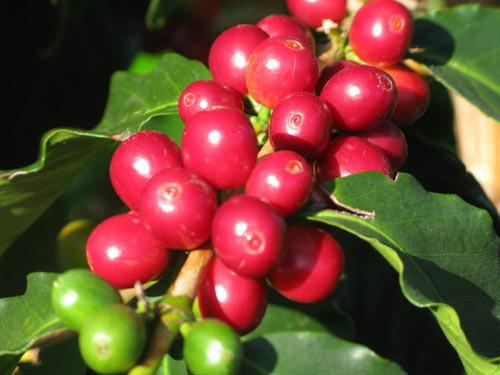 Giá cà phê hôm nay 10/7: Đồng loạt tăng thêm 500 đồng/kg