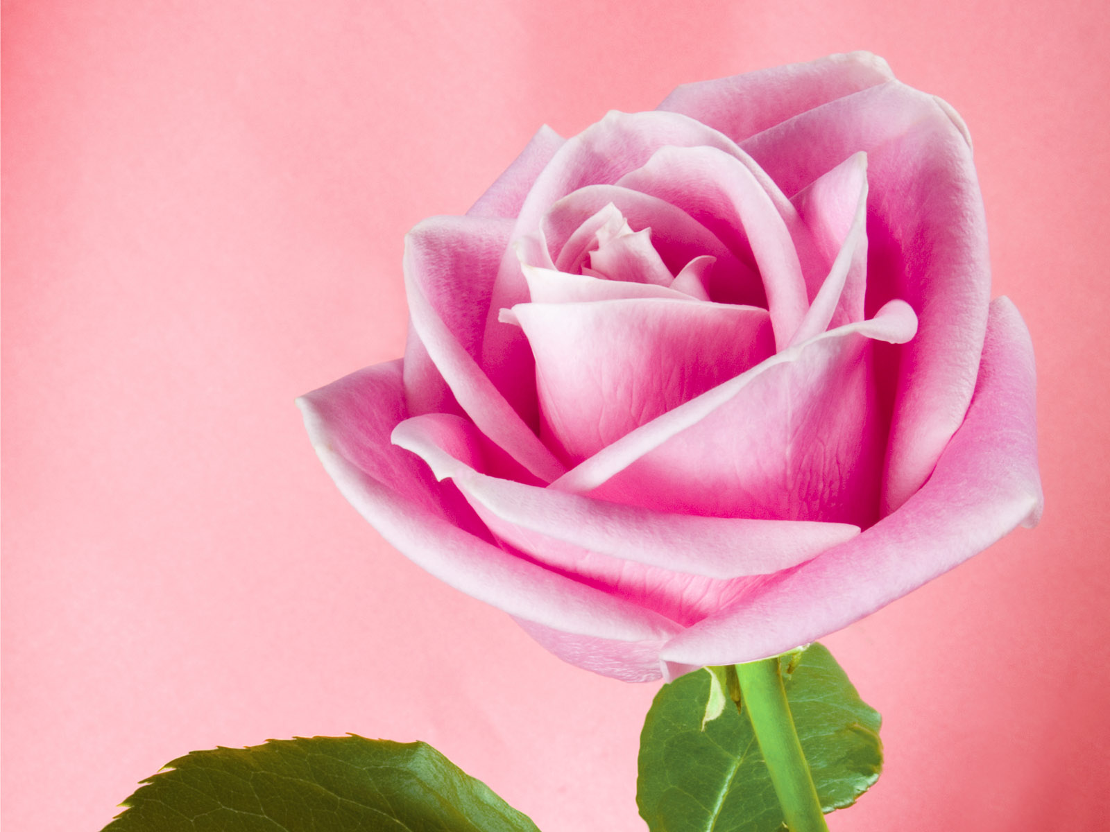 lovely Pink shadow rose wallpapers Wallpaper nature flowers