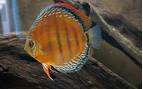 Ikan Hias Air Tawar Termahal Wild From