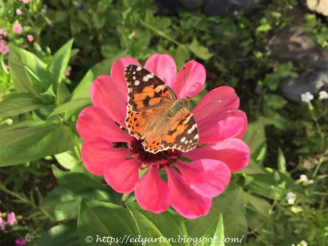 Schmetterling auf pinker Blüte