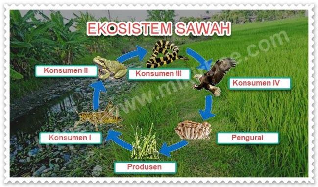 Ekosistem Sawah 4 Komponen