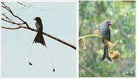 Tampak burung dua buah burung srigunting