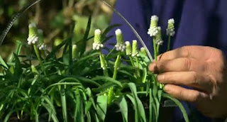 white Muscari plants/bulbs