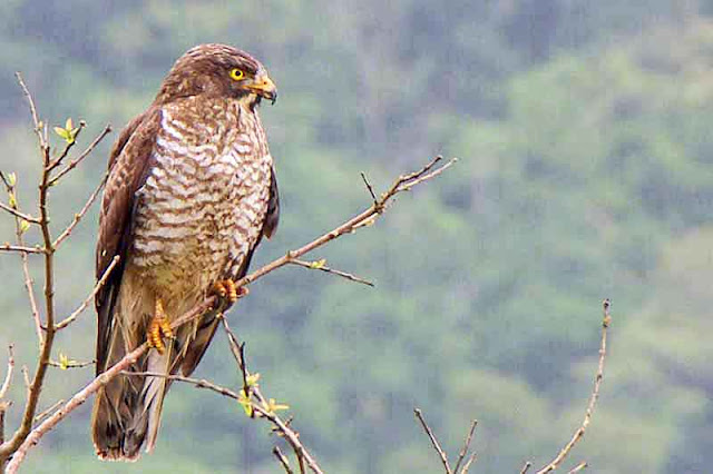 Grey-faced Buzzard Eagle, bird, Butastur indicus,tree