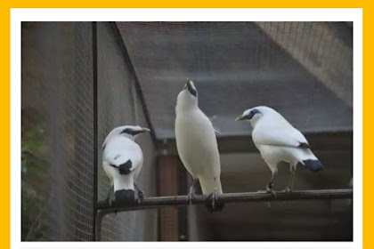 How to distinguish male and female Bali starlings