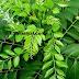 சமையலில் வாசனைக்கு சேர்க்கப்படும்... கறிவேப்பிலை | Curry leaves are added to the smell of cooking !
