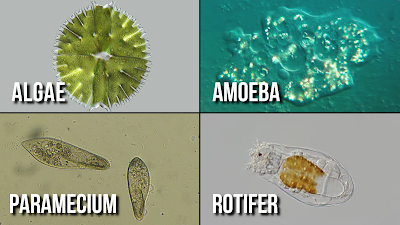 Infursoria consists of unicellular algae, amoeba, paramecium, rotifers, and other protozoans