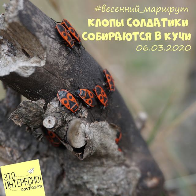 жуки солдатики.фенологические наблюдения для детей