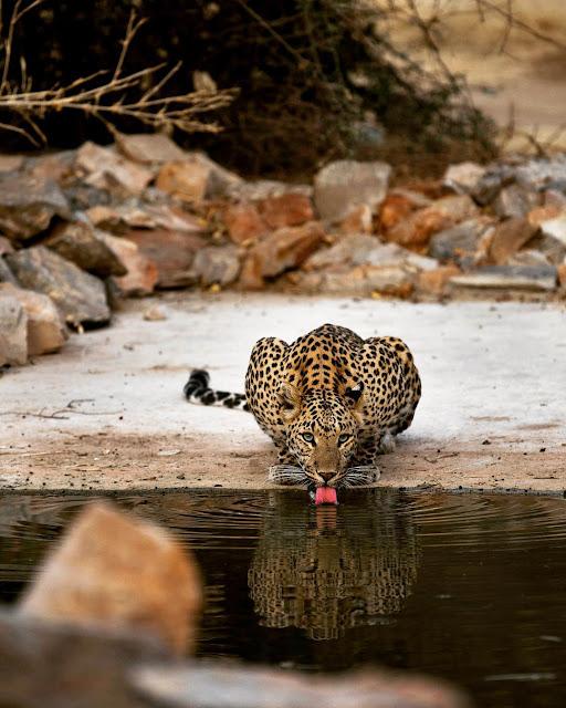 Leopards of Jhalana, Jaipur