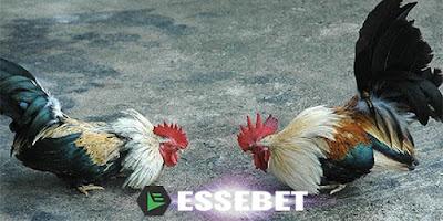 Sabung Ayam Taji