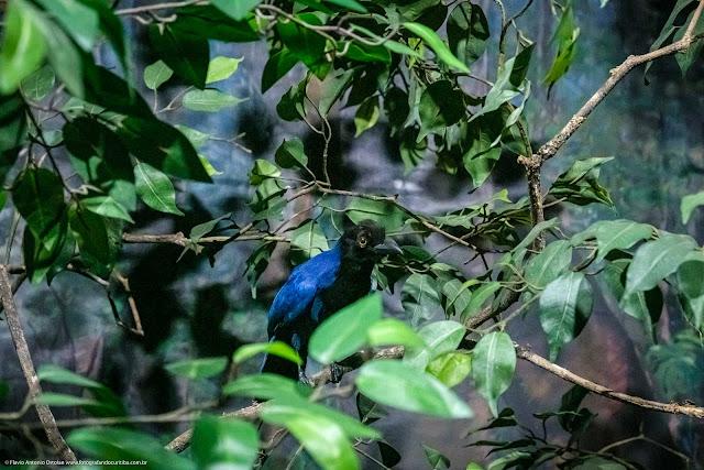 Museu de História Natural Capão da Imbuia - MHNCI - gralha azul taxidermizada