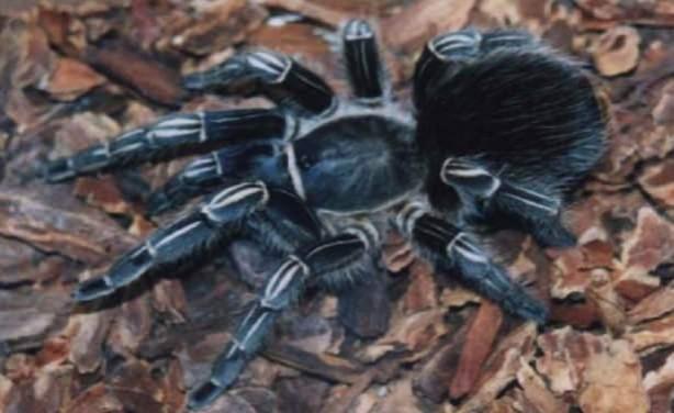 Dünyanın En Tehlikeli  ve Büyük 10 Zehirli Örümceği - Calat Kuş Yiyeni