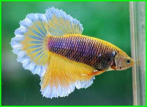 Membedakan ikan cupang jantan dan betina