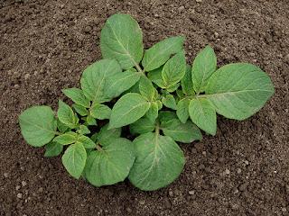 planta de cartof