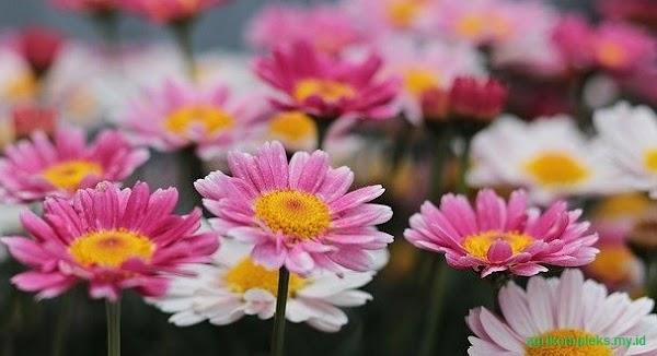 Cara Budidaya Bunga Aster yang Cocok Untuk Pekarangan Rumah