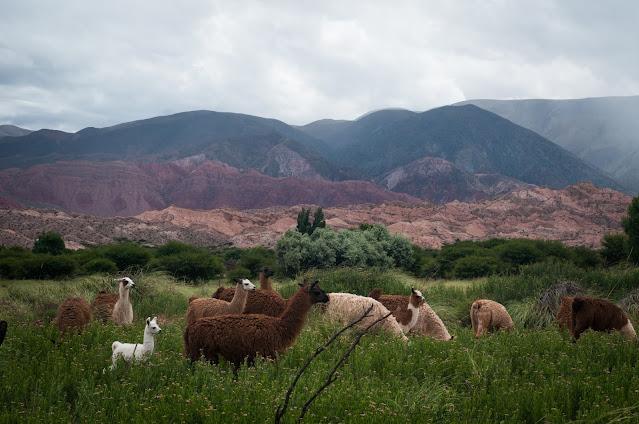 Llama afternoon near Humahuaca, Argentina