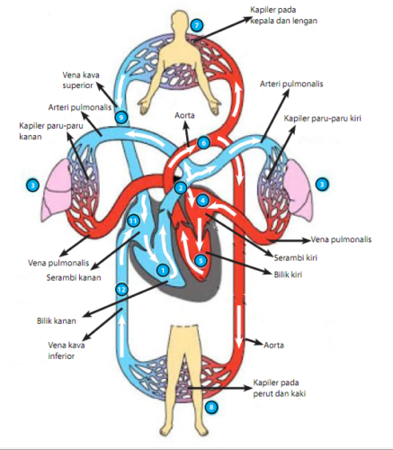 Sistem Peredaran Darah Manusia, Biologi Kelas 11 IPA SMA ...