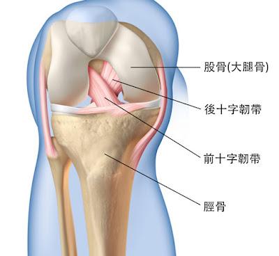 膝蓋 前十字韌帶 後十字韌帶