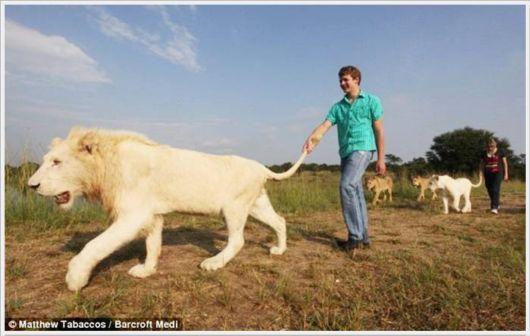 Berjalan-jalan bersama singa