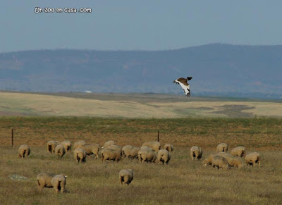 Sisón sobrevolando un rebaño de ovejas