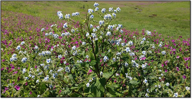 a valley of flowers-kaas pathar