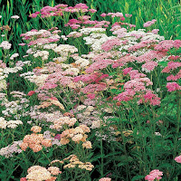 Pink and white Yarrow flowers on tall green stalks.