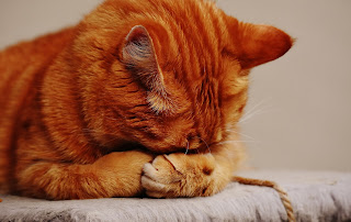Orange tabby cat sleeps with its head in its paws