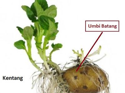 umbi batang perkembangbiakan vegetatif tumbuhan
