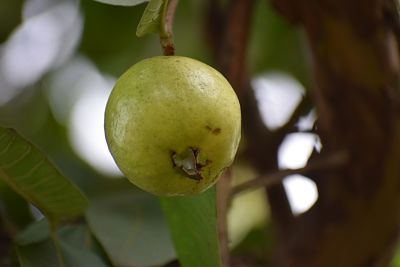 Guava sardar,Types of guavava ,Apple amrood,World famous guavava fruit, Benefits of guavava,Generatic guavava,Guavava can cure,Guavava image,Pink Guavava fruit,Lucknow 49 guavava,Allahabad Guavava,अमरूद के फायदे,अमरूद,Amrood .