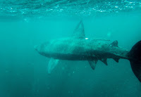 Freediving Scotland Coll Basking Sharks - PJ Freediving