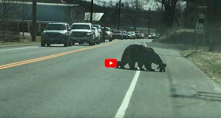 Η προσπάθεια της μαμάς αρκούδας να περάσει τα αρκουδάκια από τον δρόμο (Video)