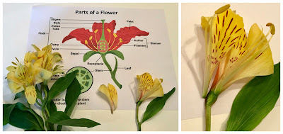 Flower Dissection Activity, STEM, STEAM
