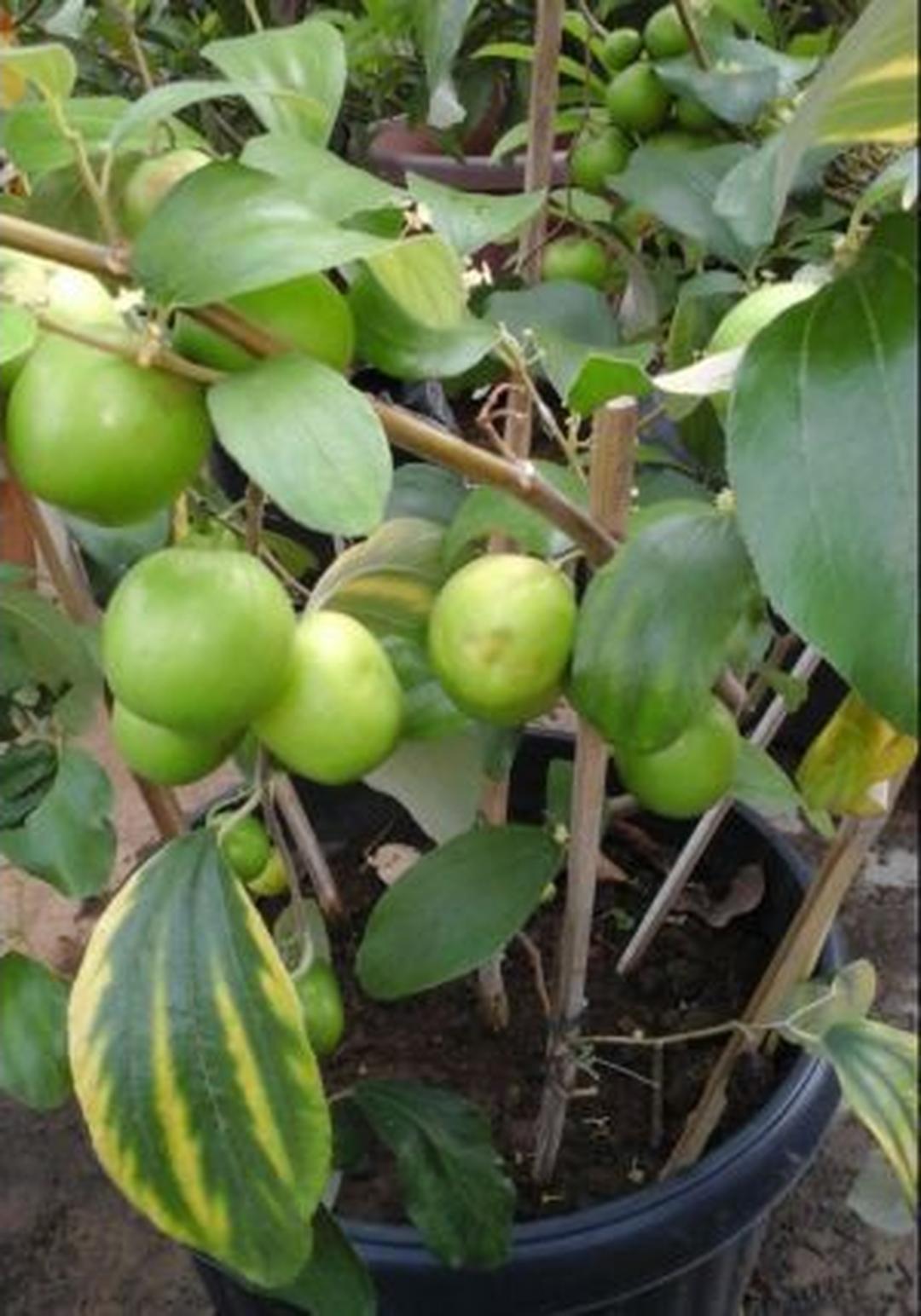 Murah Meriah! bibit Tanaman buah Apel India PUTSA super murah Kota Bogor #bibit buah genjah termurah