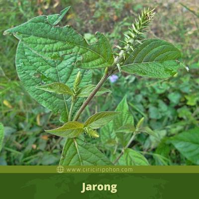 Jarong