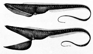 Eurypharynx pelecanoides is sea deeps animal