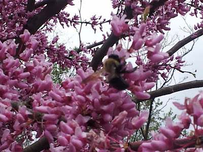 Bumble bee in flowering tree