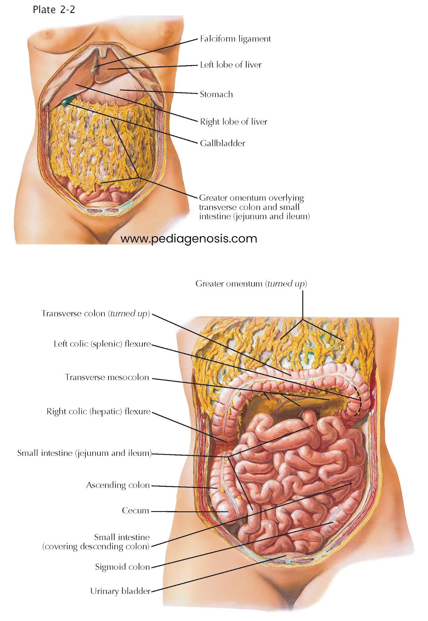 Topography and Relations of Small Bowel