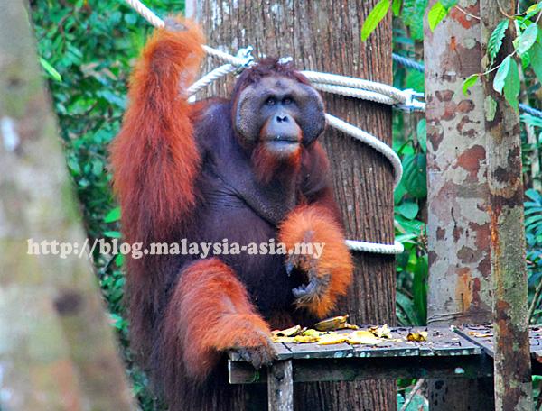 Sarawak Semenggoh Wildlife Centre