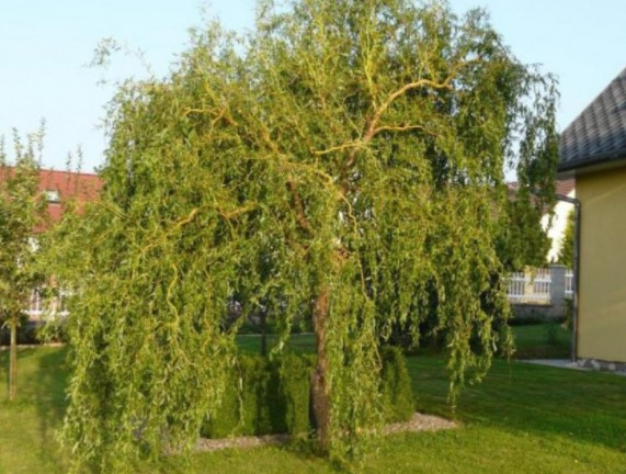 willow tree pictures