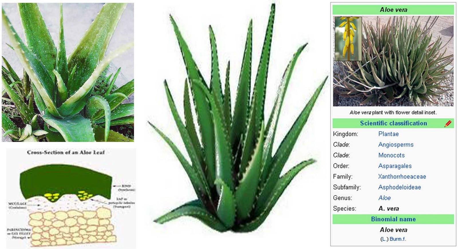 sutharya health cares benefits of aloe vera. Black Bedroom Furniture Sets. Home Design Ideas