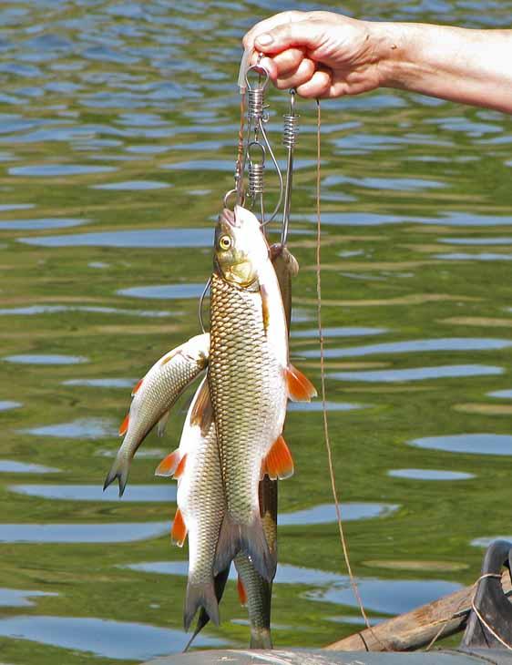 Рыба на кукане картинки