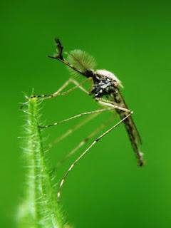 fotos de Mosquito Culex