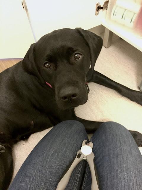 Kloklippning Labrador Siri