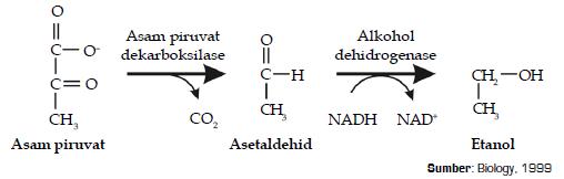 Bagan Siklus Tahapan Reaksi Fermentasi Alkohol dan Asam Laktat Pada Proses Respirasi Anaerob