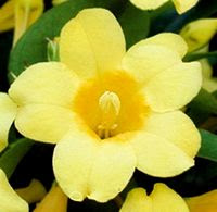 Yellow Jasmine - Gelsemium sempervirens flower